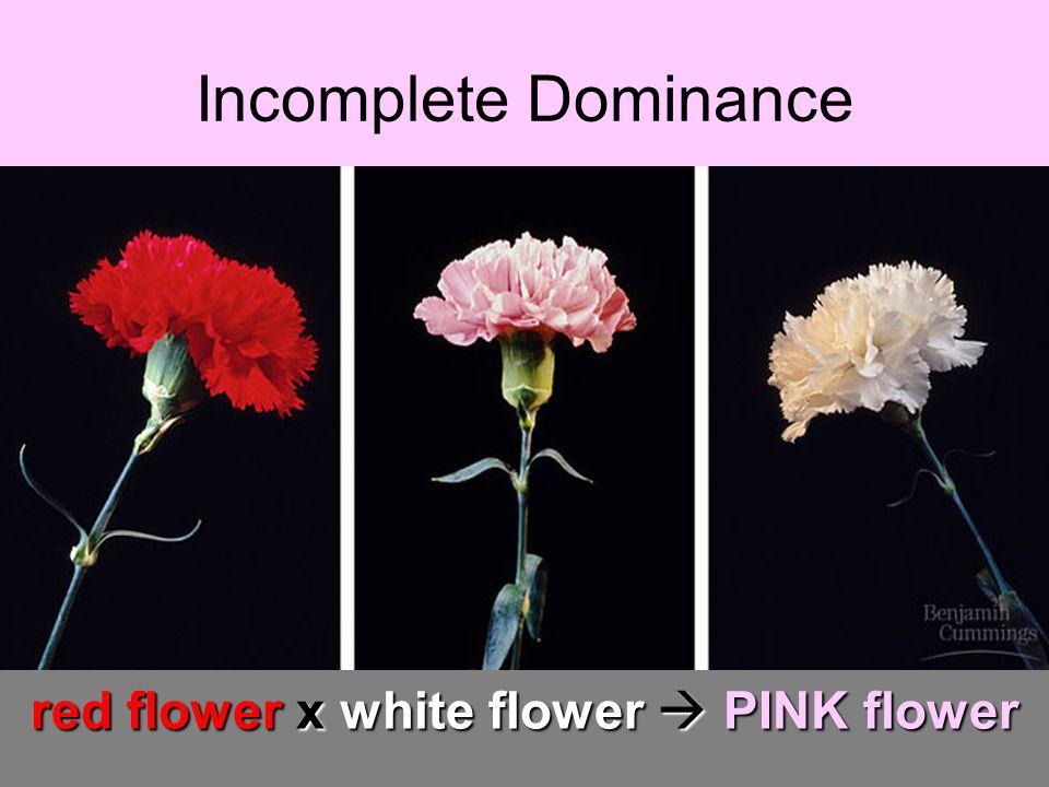 Incomplete Dominance red flower x white flower PINK flower