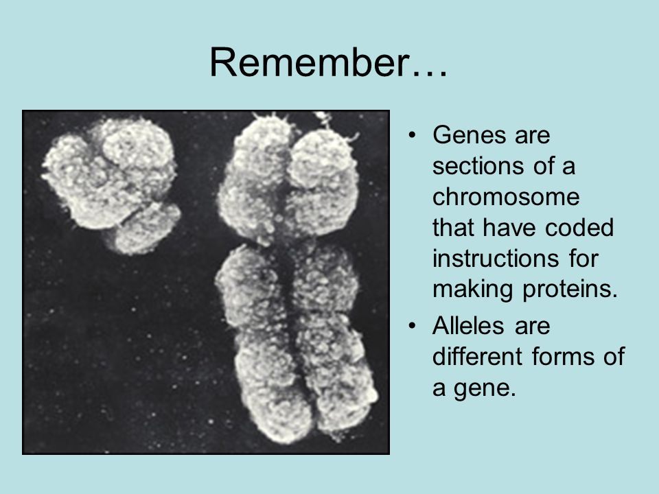 Remember… Genes are sections of a chromosome that have coded instructions for making proteins. Alleles are different forms of a gene.
