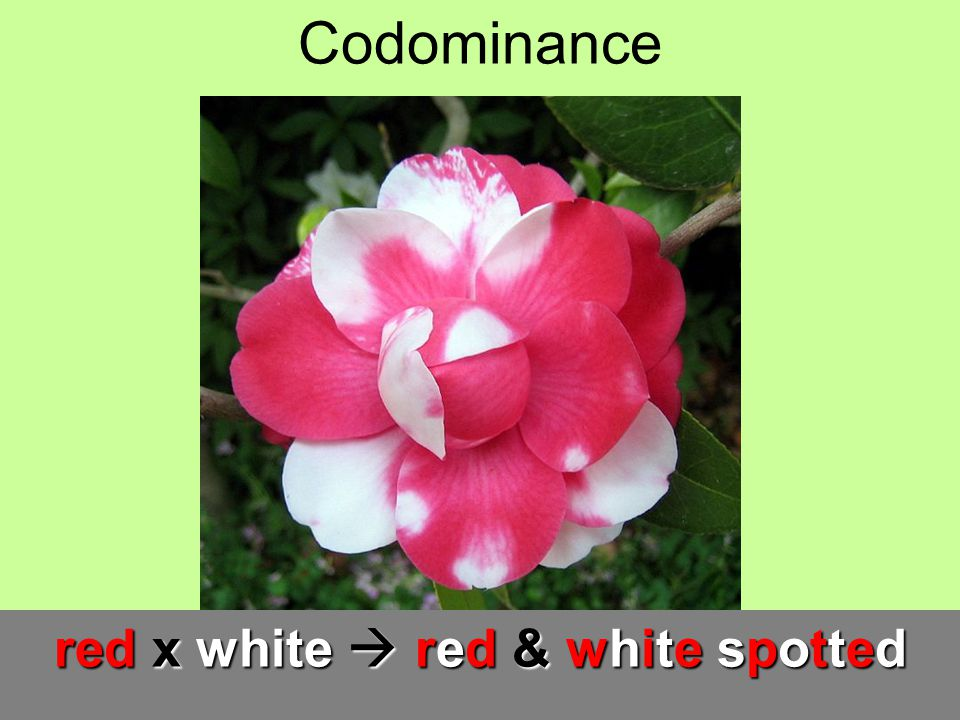 Codominance red x white red & white spotted