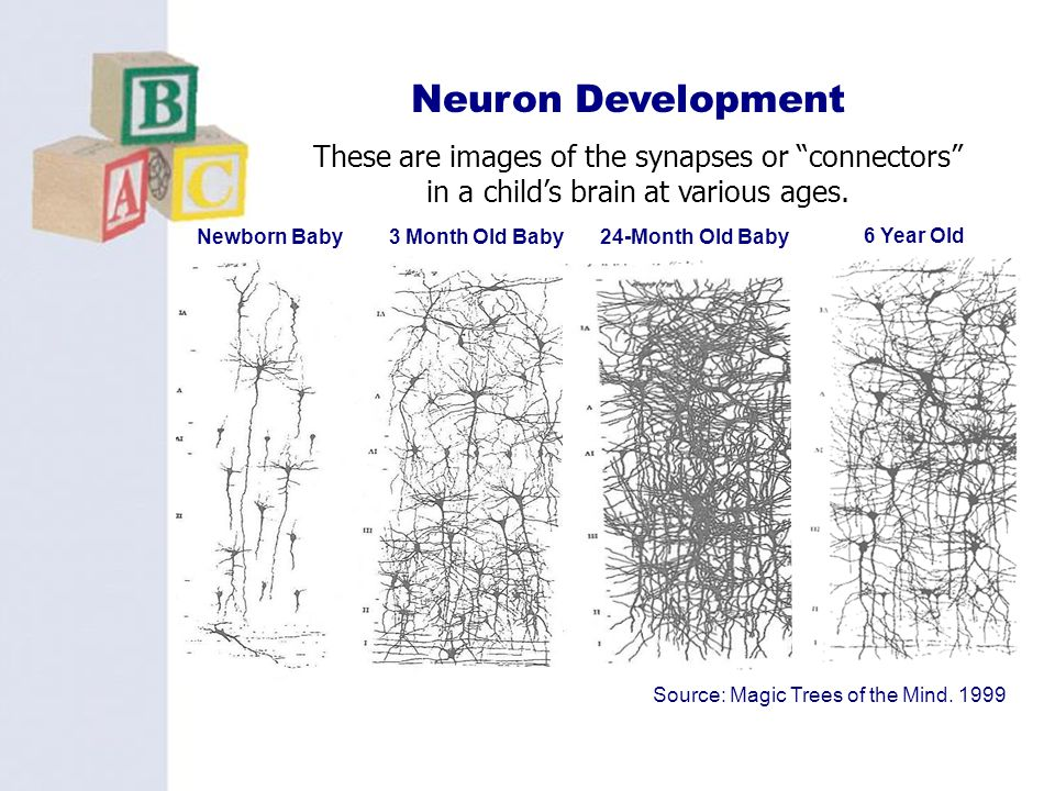 3 Neuron Development 6 Year Old 24-Month Old BabyNewborn Baby3 Month Old Baby Source: Magic Trees of the Mind. 1999 These are images of the synapses o