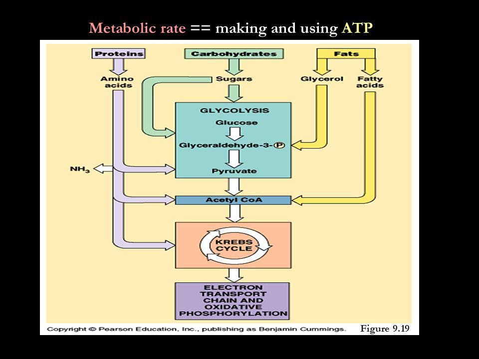 Metabolic rate == making and using ATP Figure 9.19
