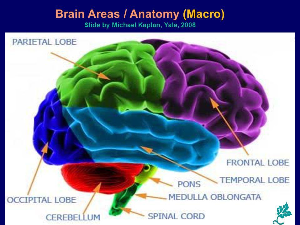 Brain Areas / Anatomy (Macro) Slide by Michael Kaplan, Yale, 2008