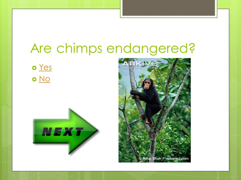 Where are the larger groups of chimps found Australia Western Africa Asia Eastern Africa