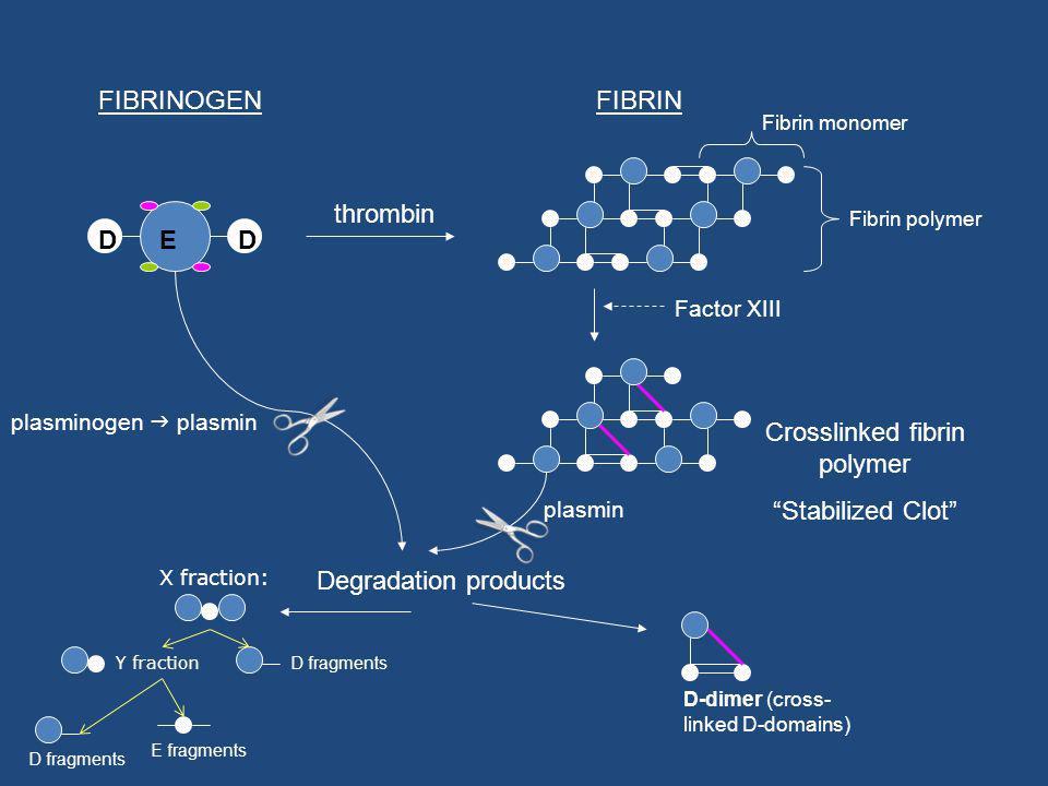 EDD FIBRINOGEN thrombin Fibrin polymer Factor XIII Crosslinked fibrin polymer Stabilized Clot Fibrin monomer plasminogen plasmin plasmin Degradation products FIBRIN D-dimer (cross- linked D-domains) D fragments E fragments X fraction: Y fraction D fragments