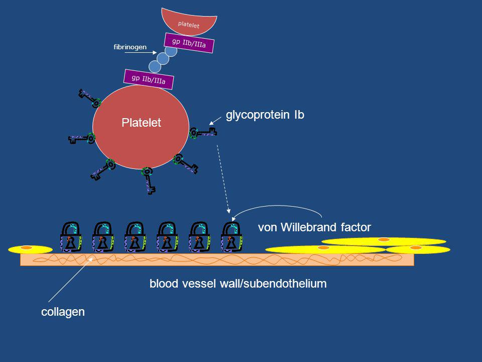 Platelet glycoprotein Ib blood vessel wall/subendothelium von Willebrand factor collagen gp IIb/IIIa fibrinogen gp IIb/IIIa platelet