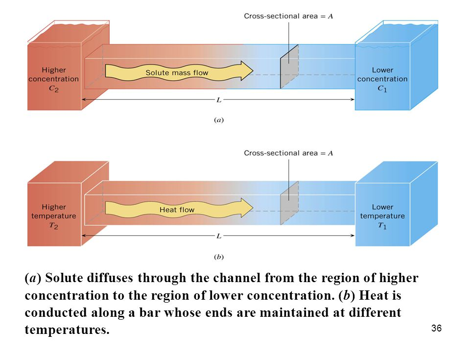 36 (a) Solute diffuses through the channel from the region of higher concentration to the region of lower concentration.