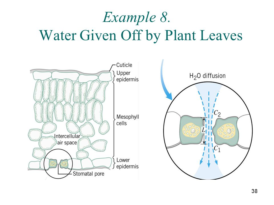 38 Example 8. Water Given Off by Plant Leaves