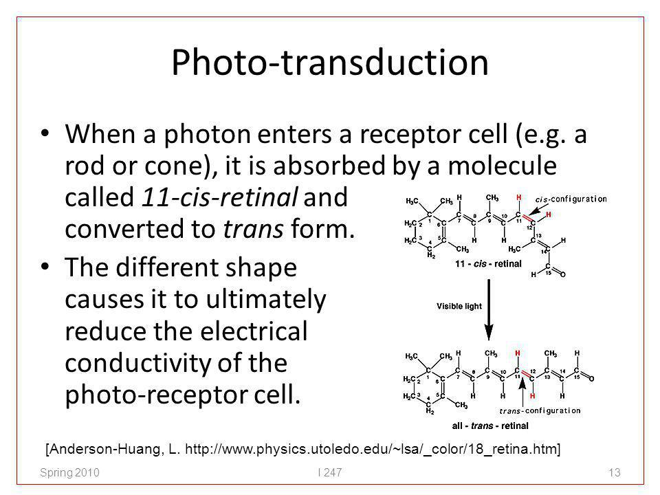 Photo-transduction When a photon enters a receptor cell (e.g. a rod or cone), it is absorbed by a molecule called 11-cis-retinal and converted to tran