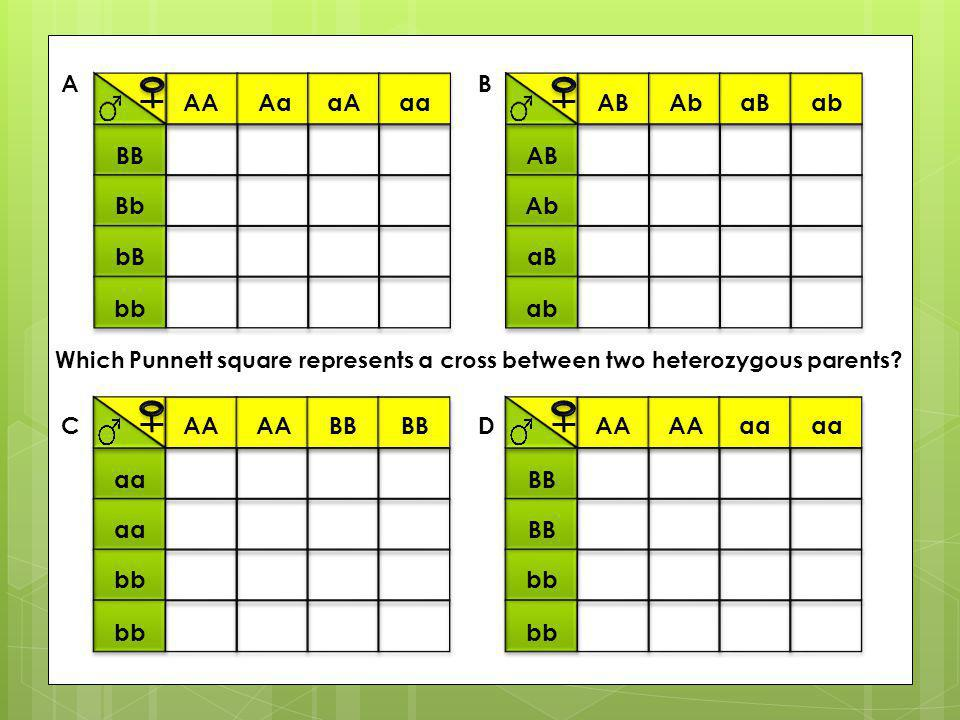 AA AaaAaa BB Bb bB bb ABAbaBab AB Ab aB ab AA BB aa bb AA aa BB bb A C B D Which Punnett square represents a cross between two heterozygous parents?