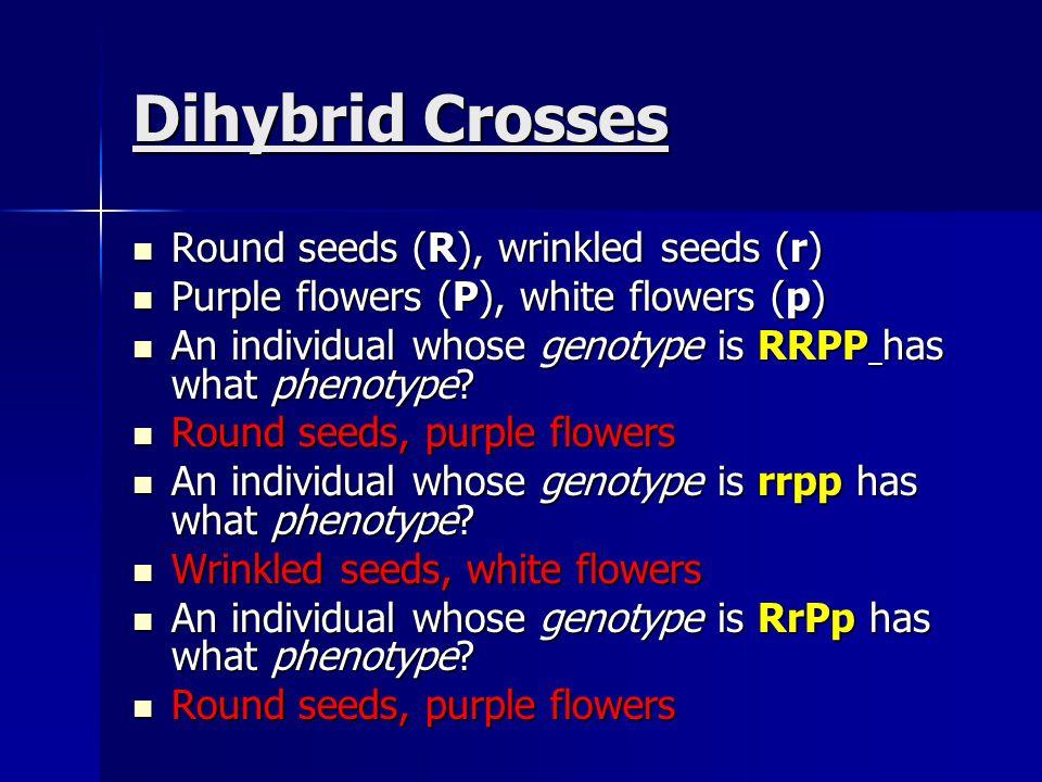 Dihybrid Crosses Round seeds (R), wrinkled seeds (r) Round seeds (R), wrinkled seeds (r) Purple flowers (P), white flowers (p) Purple flowers (P), whi