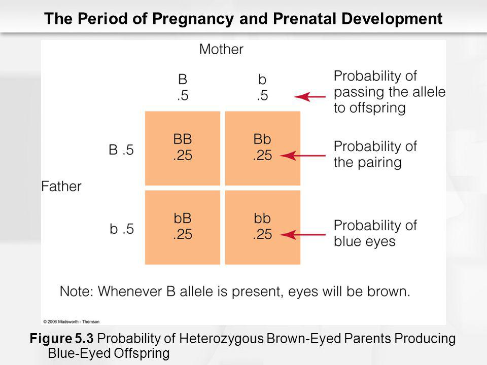 The Period of Pregnancy and Prenatal Development Figure 5.3 Probability of Heterozygous Brown-Eyed Parents Producing Blue-Eyed Offspring