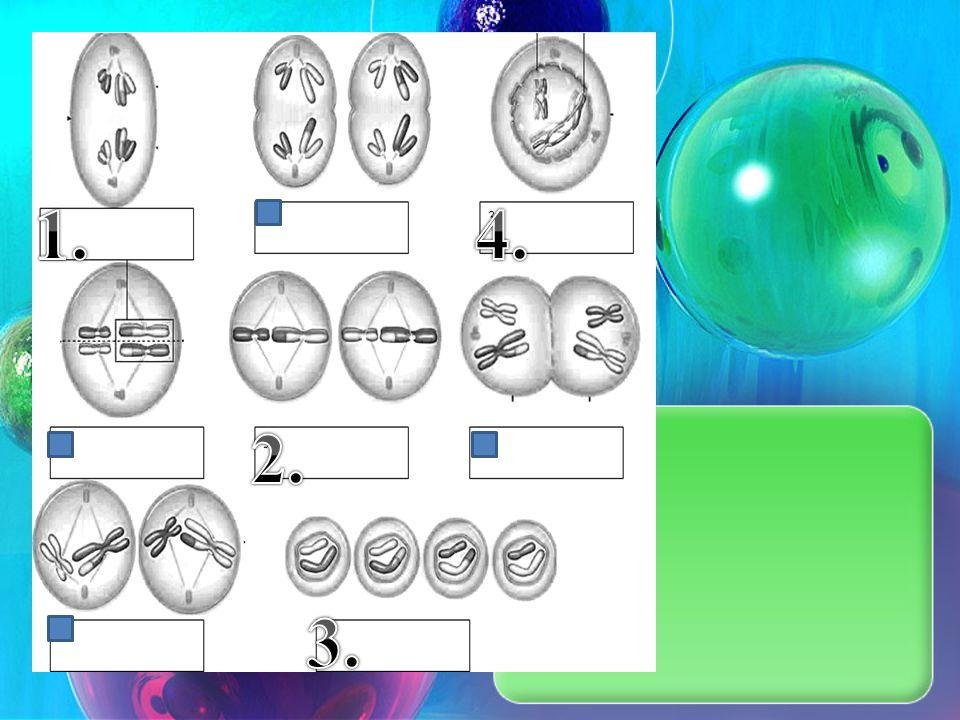 Meiosis / Genetics Mini Quiz November 5 th, 2012