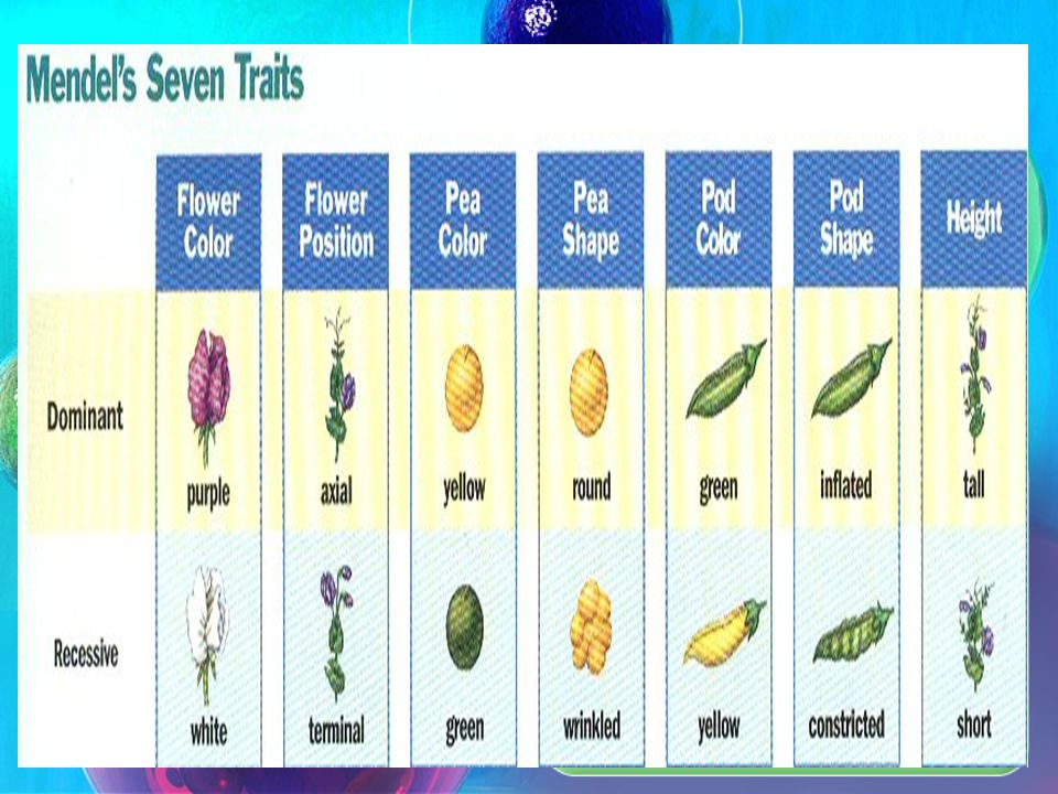 Austrian monk and scientist Identified principles of genetics by studying pea plants Picked peas because of 7 observable traits, traits appeared and d