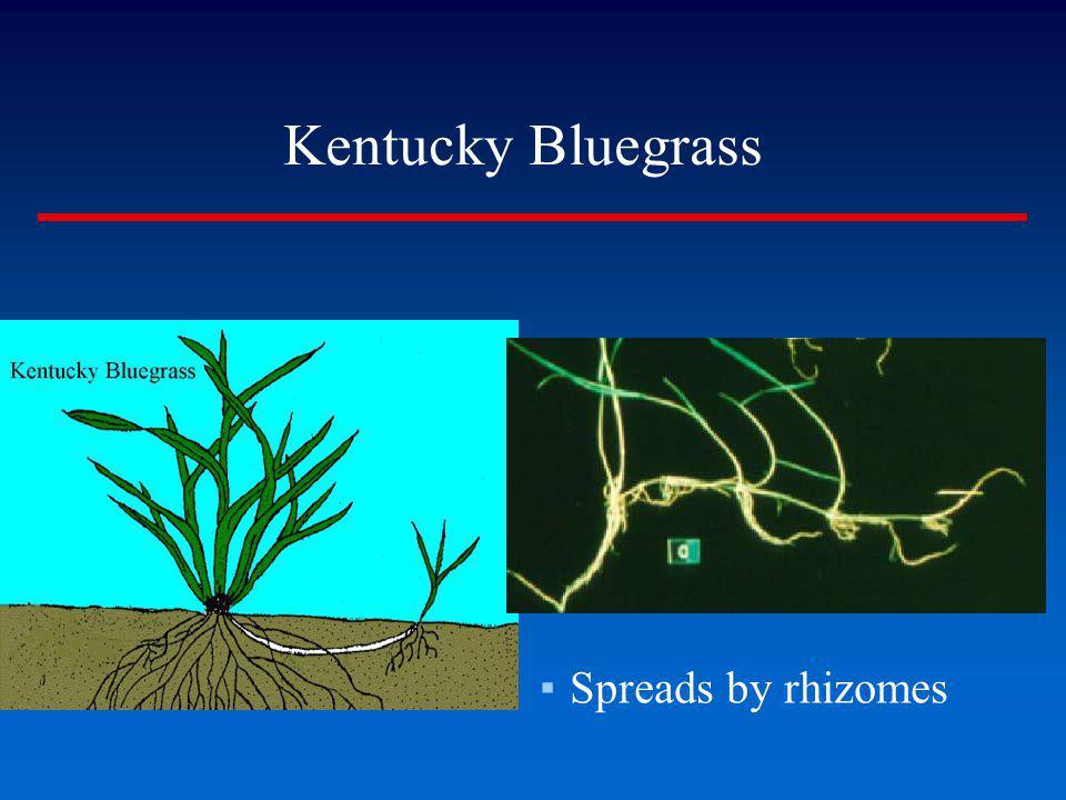 Spreads by rhizomes