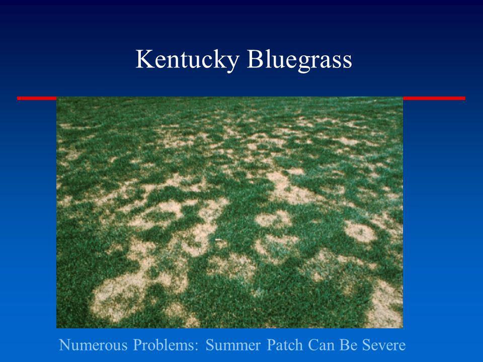 Kentucky Bluegrass Numerous Problems: Summer Patch Can Be Severe