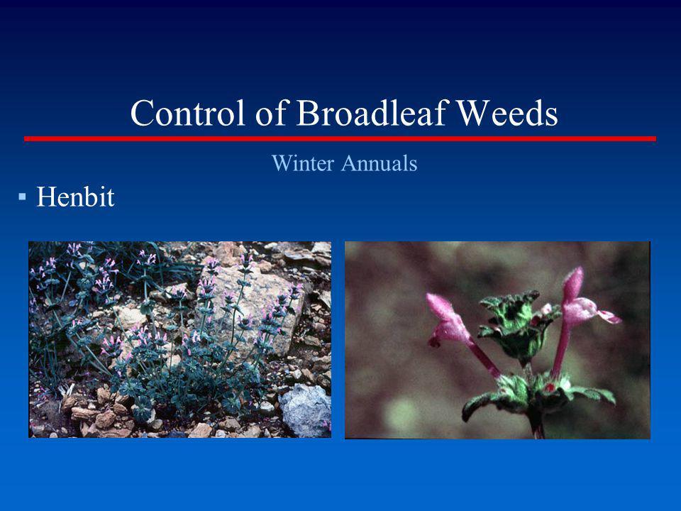 Control of Broadleaf Weeds Winter Annuals Henbit