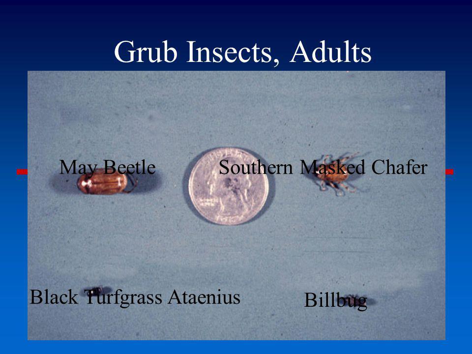 Grub Insects, Adults May BeetleSouthern Masked Chafer Black Turfgrass Ataenius Billbug