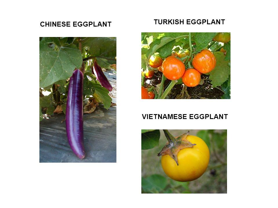 VIETNAMESE EGGPLANT TURKISH EGGPLANT CHINESE EGGPLANT