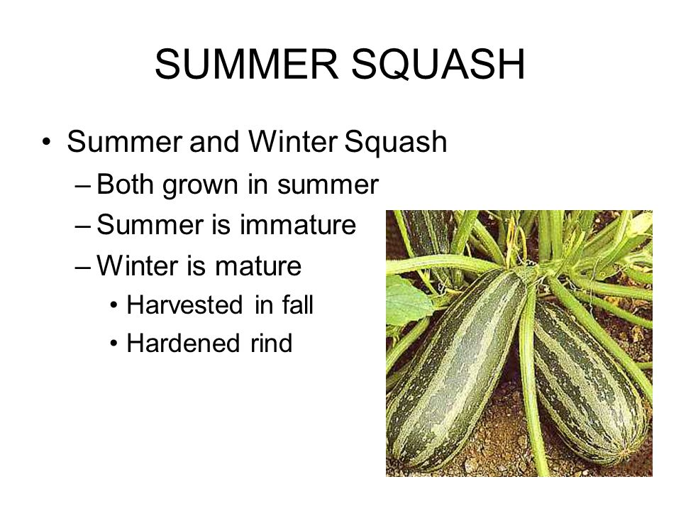 SUMMER SQUASH Summer and Winter Squash –Both grown in summer –Summer is immature –Winter is mature Harvested in fall Hardened rind