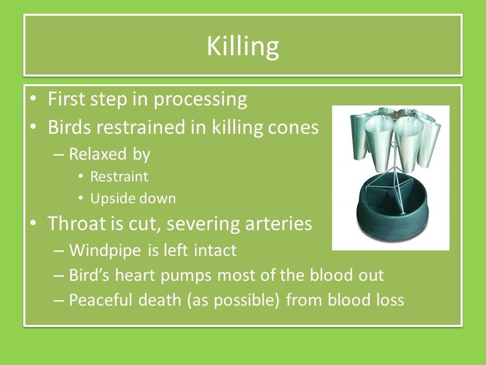 Killing First step in processing Birds restrained in killing cones – Relaxed by Restraint Upside down Throat is cut, severing arteries – Windpipe is left intact – Birds heart pumps most of the blood out – Peaceful death (as possible) from blood loss First step in processing Birds restrained in killing cones – Relaxed by Restraint Upside down Throat is cut, severing arteries – Windpipe is left intact – Birds heart pumps most of the blood out – Peaceful death (as possible) from blood loss
