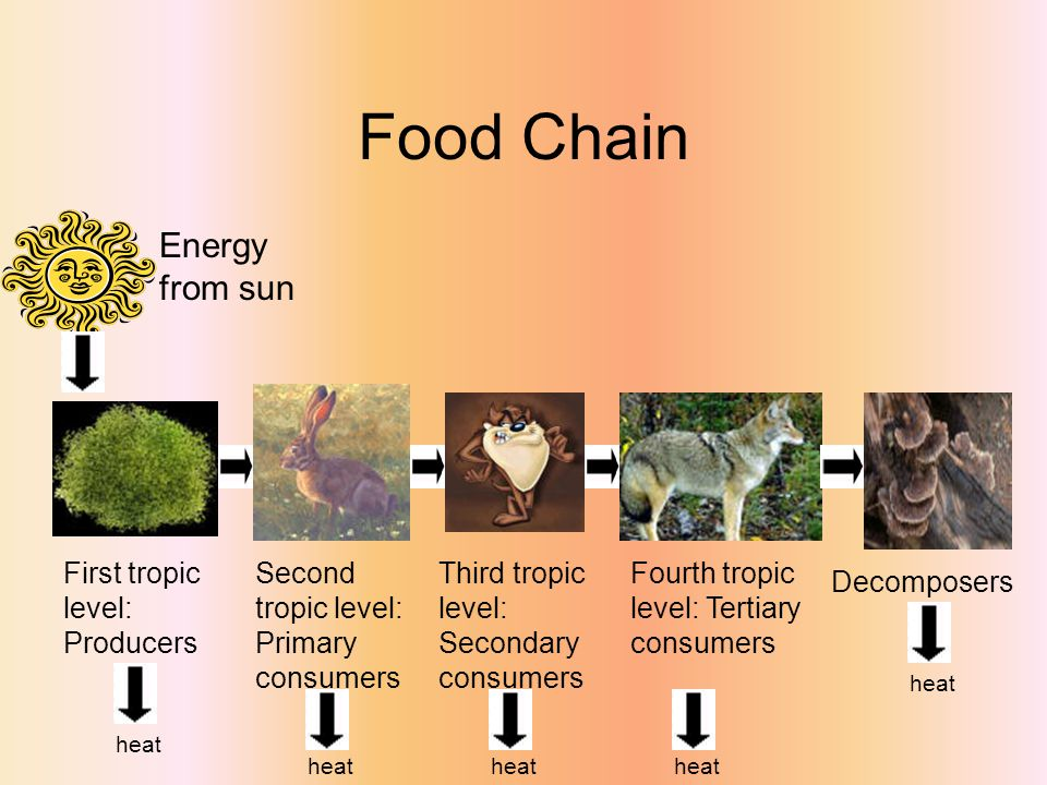Food Chain Energy from sun First tropic level: Producers Second tropic level: Primary consumers Third tropic level: Secondary consumers Fourth tropic