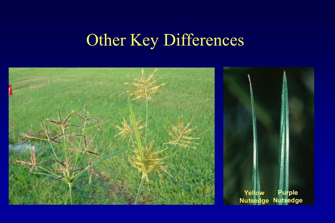 How do nutsedges reproduce.Seed - ????.