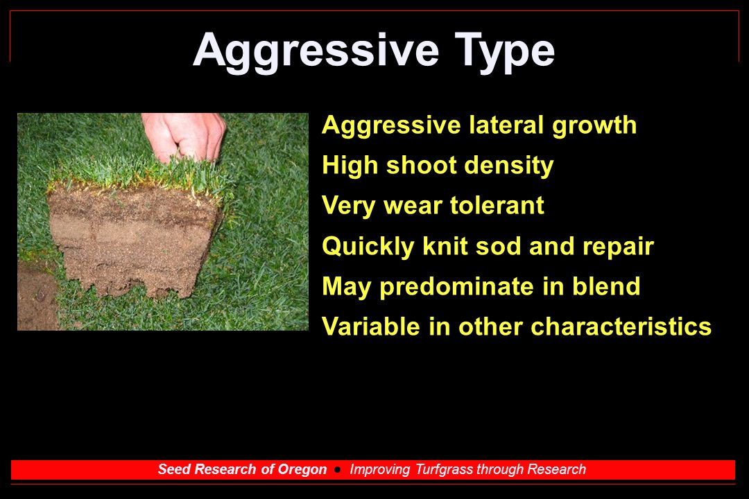 Seed Research of Oregon Improving Turfgrass through Research Aggressive Type Aggressive lateral growth High shoot density Very wear tolerant Quickly knit sod and repair May predominate in blend Variable in other characteristics