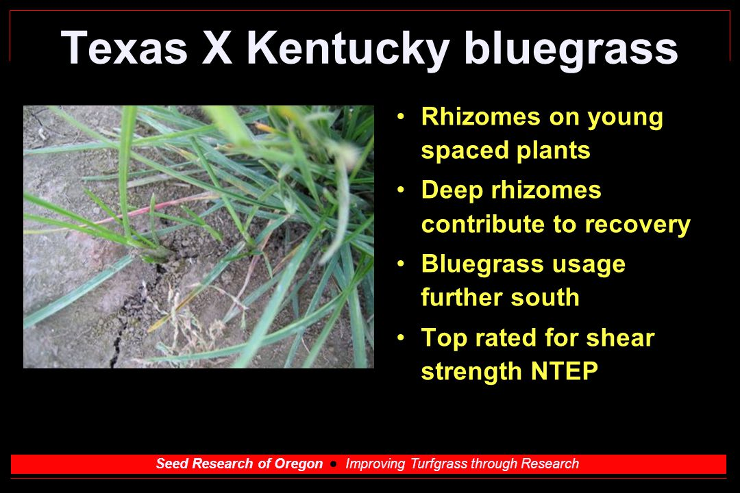 Seed Research of Oregon Improving Turfgrass through Research Texas X Kentucky bluegrass Rhizomes on young spaced plants Deep rhizomes contribute to recovery Bluegrass usage further south Top rated for shear strength NTEP