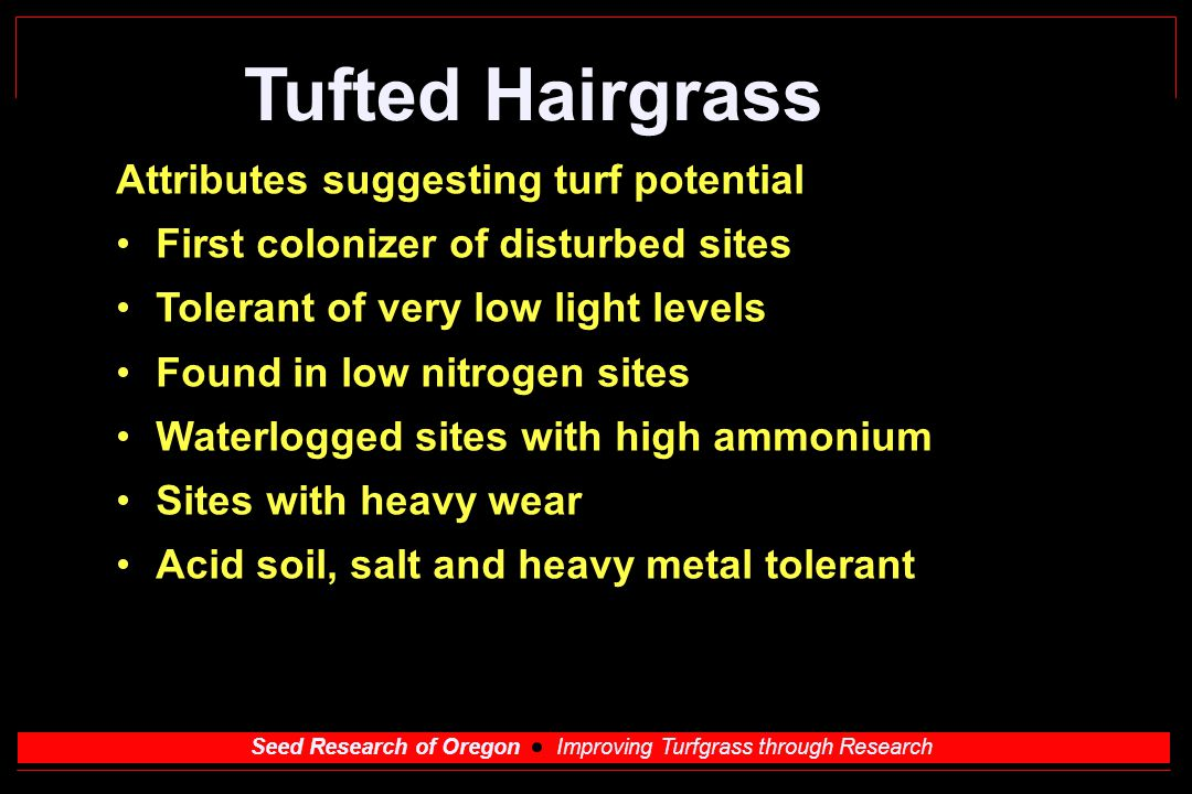 Seed Research of Oregon Improving Turfgrass through Research Tufted Hairgrass Attributes suggesting turf potential First colonizer of disturbed sites Tolerant of very low light levels Found in low nitrogen sites Waterlogged sites with high ammonium Sites with heavy wear Acid soil, salt and heavy metal tolerant