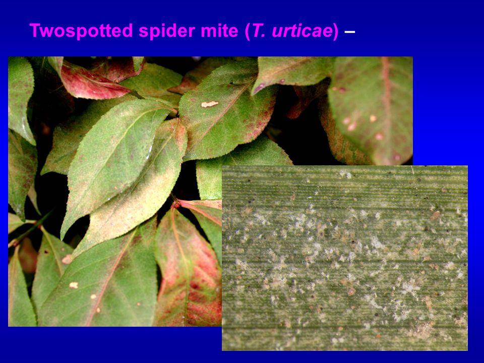 Twospotted spider mite (T. urticae) –