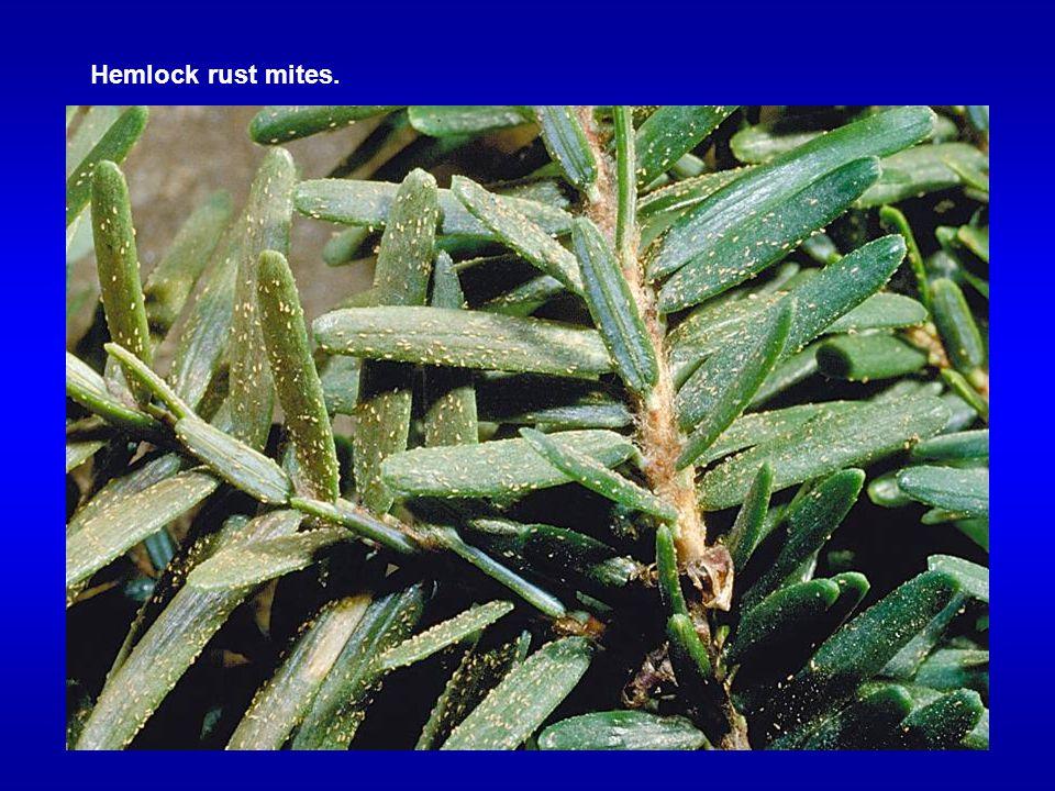 Hemlock rust mites.