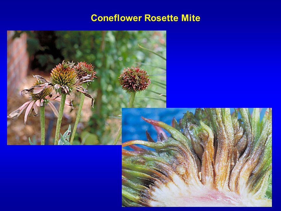 Coneflower Rosette Mite