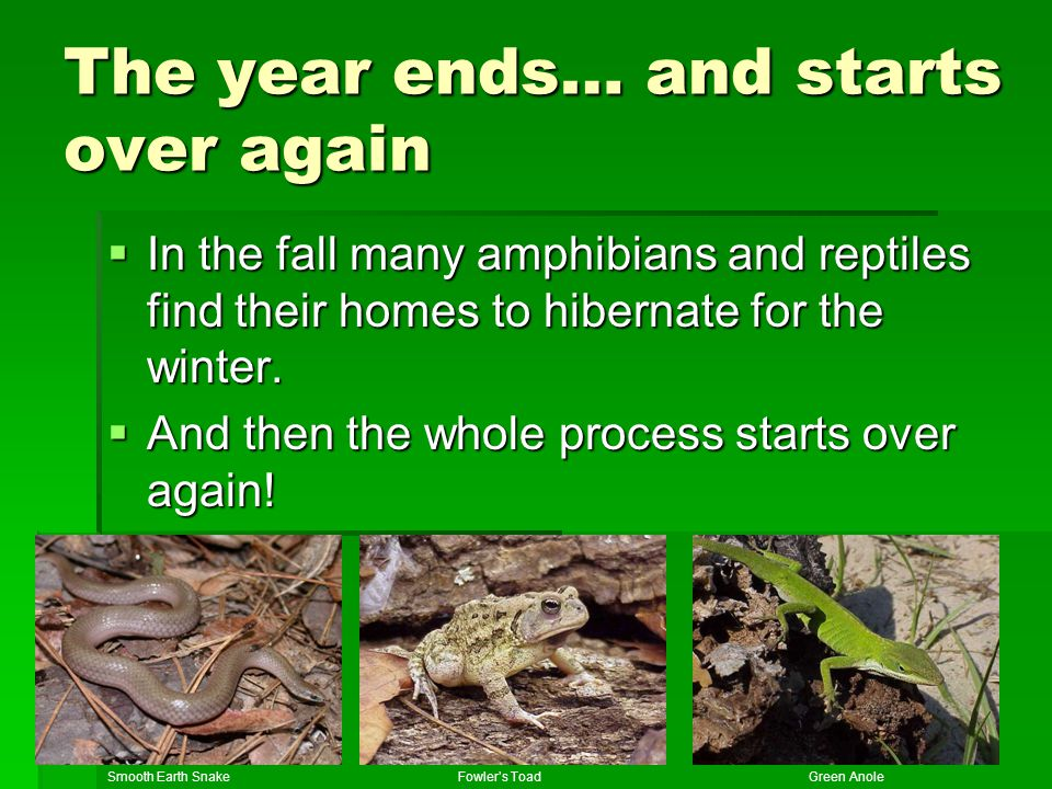 The year ends… and starts over again In the fall many amphibians and reptiles find their homes to hibernate for the winter. In the fall many amphibian