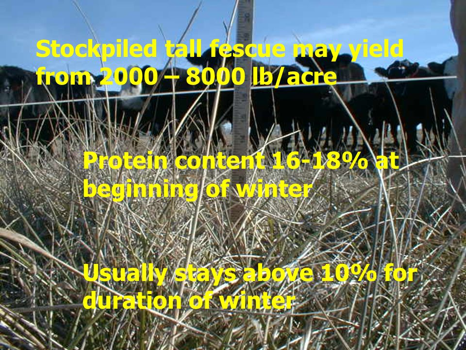 Stockpiled tall fescue may yield from 2000 – 8000 lb/acre Protein content 16-18% at beginning of winter Usually stays above 10% for duration of winter