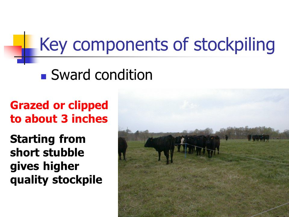 Key components of stockpiling Sward condition Grazed or clipped to about 3 inches Starting from short stubble gives higher quality stockpile