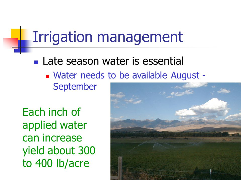 Irrigation management Late season water is essential Water needs to be available August - September Each inch of applied water can increase yield about 300 to 400 lb/acre