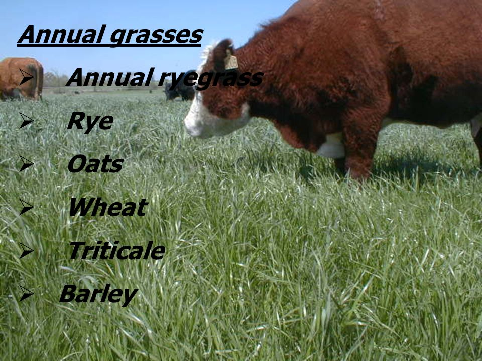Annual grasses Annual ryegrass Rye Oats Wheat Triticale Barley