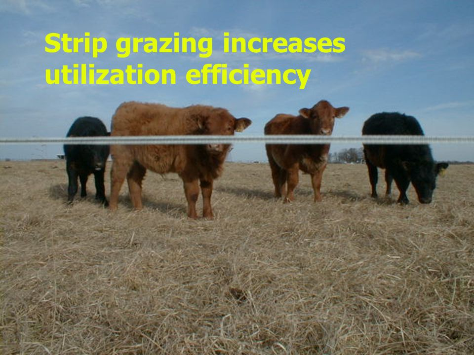 Strip grazing increases utilization efficiency