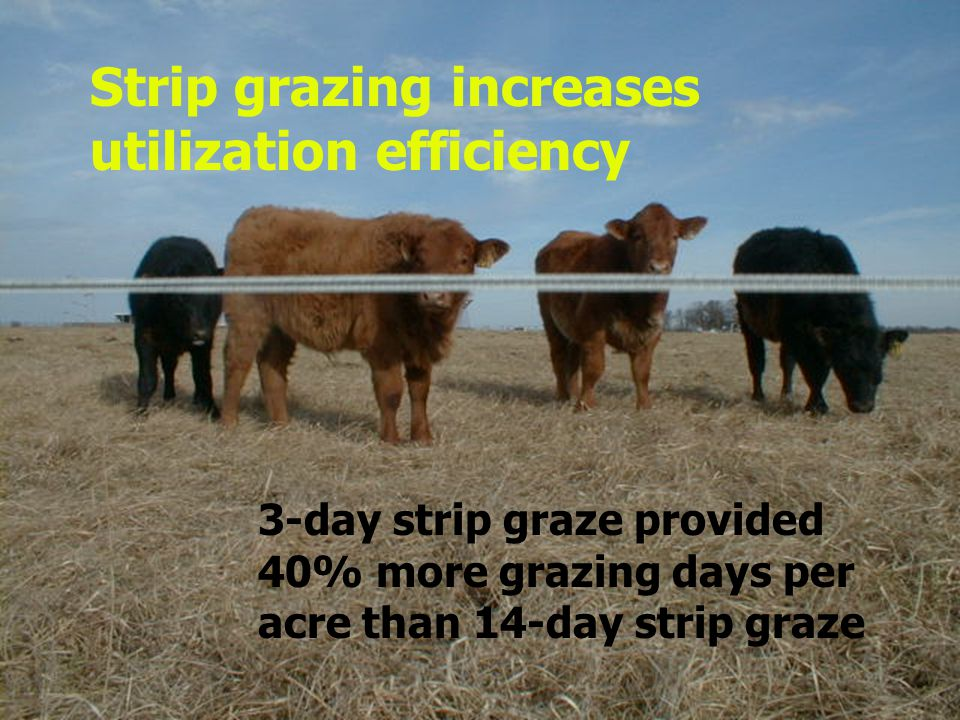 3-day strip graze provided 40% more grazing days per acre than 14-day strip graze