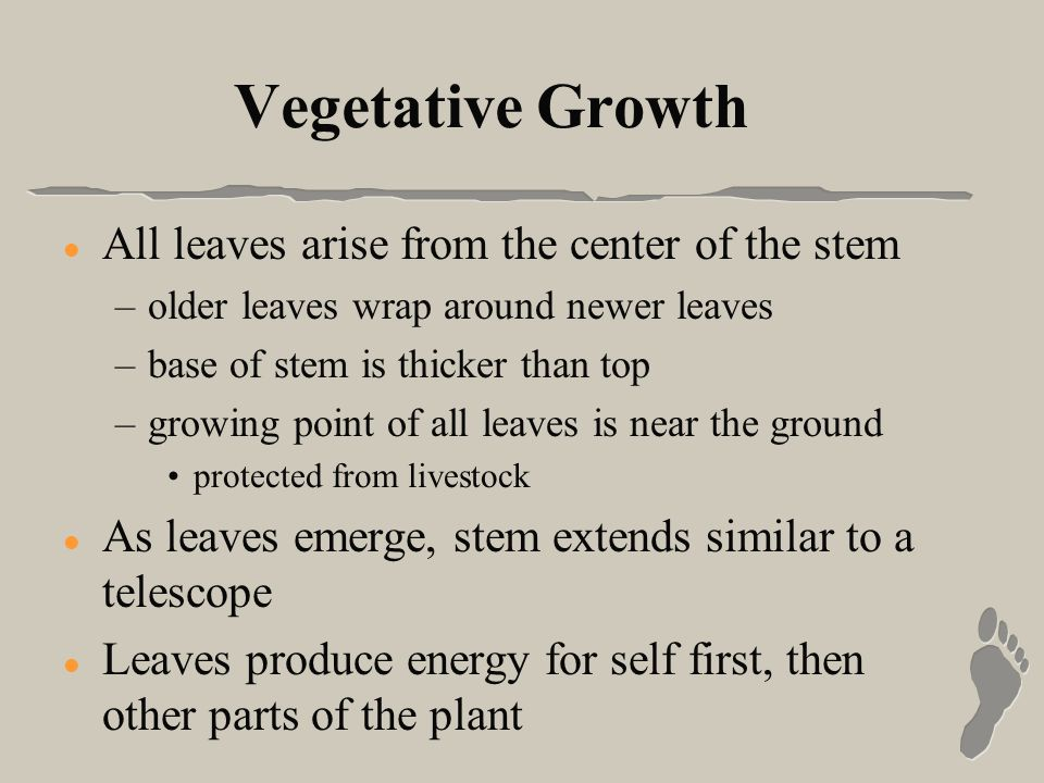 Vegetative Growth l All leaves arise from the center of the stem –older leaves wrap around newer leaves –base of stem is thicker than top –growing point of all leaves is near the ground protected from livestock l As leaves emerge, stem extends similar to a telescope l Leaves produce energy for self first, then other parts of the plant