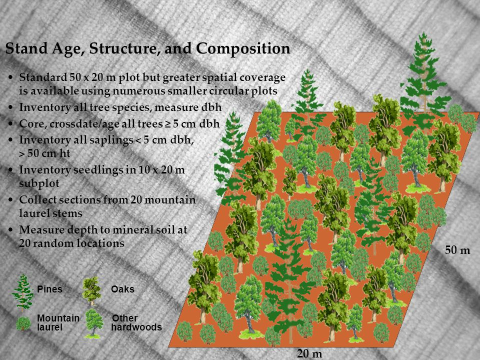 Standard 50 x 20 m plot but greater spatial coverage is available using numerous smaller circular plots Inventory all tree species, measure dbh Core, crossdate/age all trees 5 cm dbh Inventory all saplings 50 cm ht Inventory seedlings in 10 x 20 m subplot Collect sections from 20 mountain laurel stems Measure depth to mineral soil at 20 random locations Pines Oaks Mountain Other laurel hardwoods 20 m 50 m Stand Age, Structure, and Composition