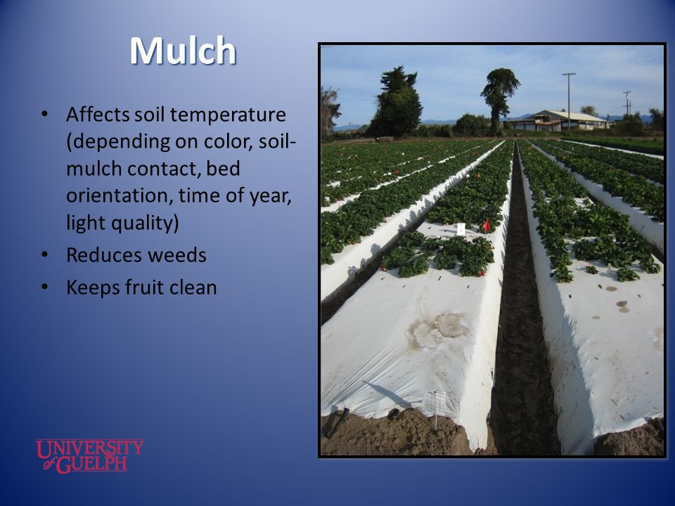 Mulch Affects soil temperature (depending on color, soil- mulch contact, bed orientation, time of year, light quality) Reduces weeds Keeps fruit clean