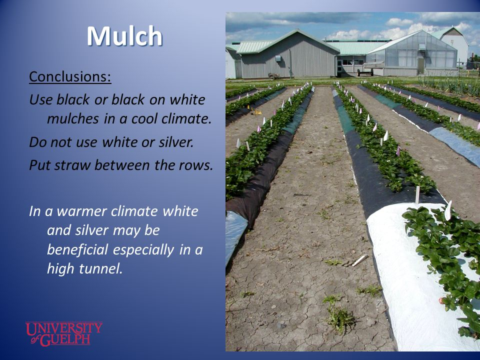 Mulch Conclusions: Use black or black on white mulches in a cool climate. Do not use white or silver. Put straw between the rows. In a warmer climate