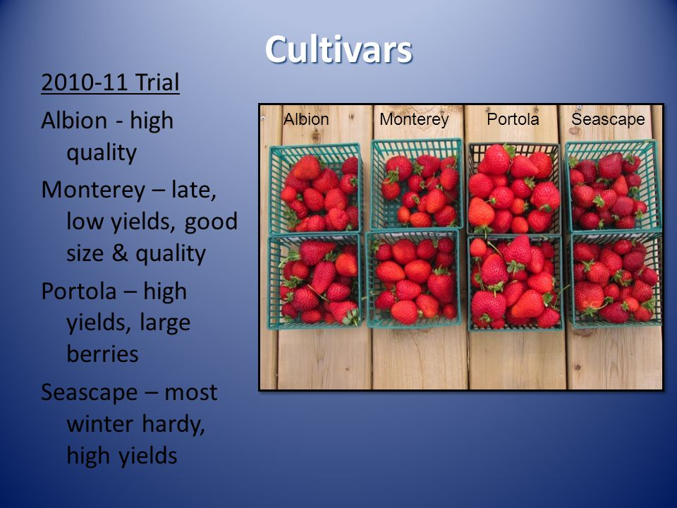 Cultivars 2010-11 Trial Albion - high quality Monterey – late, low yields, good size & quality Portola – high yields, large berries Seascape – most wi