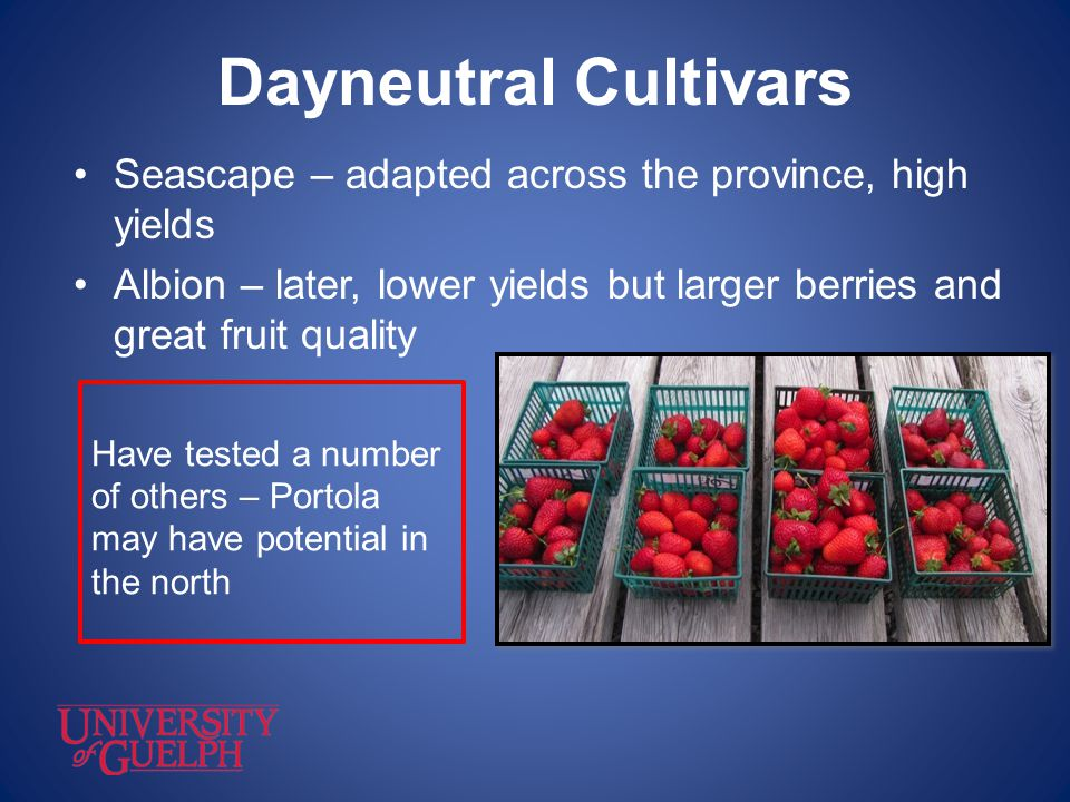 Dayneutral Cultivars Seascape – adapted across the province, high yields Albion – later, lower yields but larger berries and great fruit quality Have