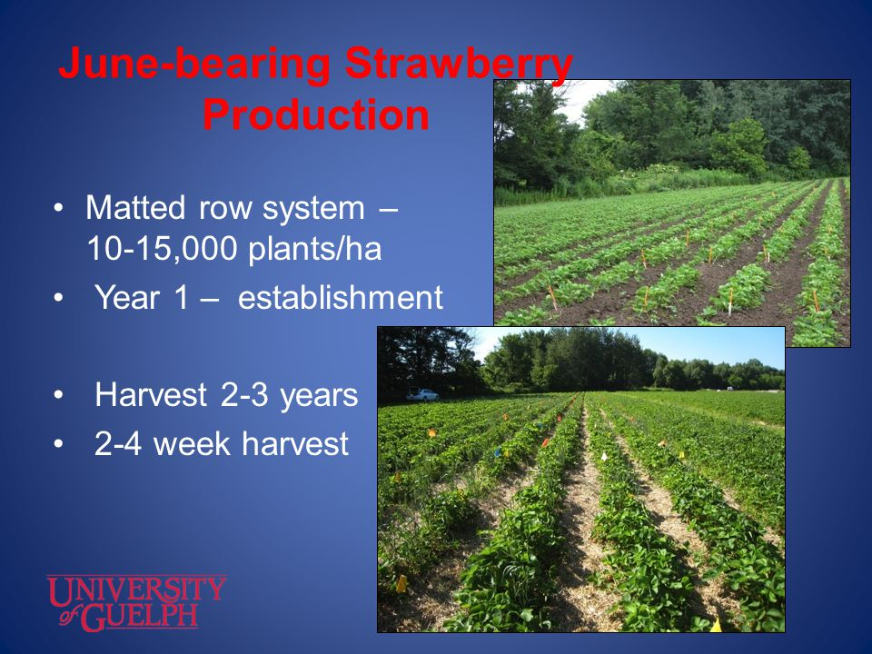 June-bearing Strawberry Production Matted row system – 10-15,000 plants/ha Year 1 – establishment Harvest 2-3 years 2-4 week harvest