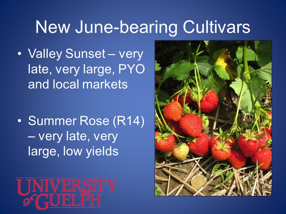New June-bearing Cultivars Summer Ruby (2V55) – firm, large-fruited, early-mid-season Information OMAFRA - website www.omafra.gov.on.cawww.omafra.gov.on.ca OBGA