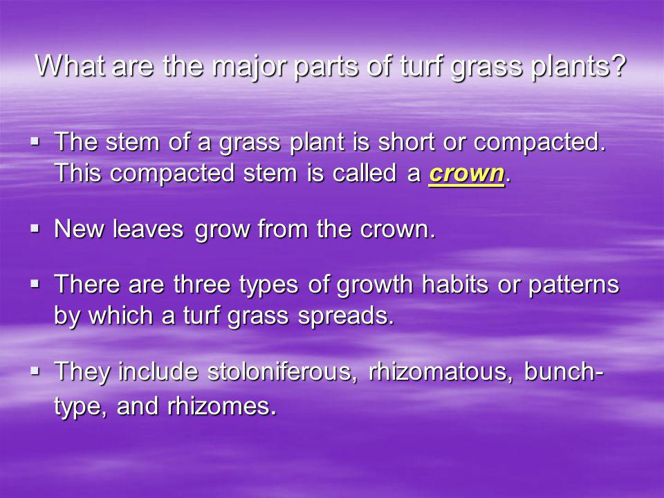 What are the major parts of turf grass plants.The stem of a grass plant is short or compacted.