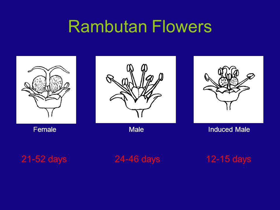 Rambutan Flowers FemaleMaleInduced Male 24-46 days12-15 days21-52 days