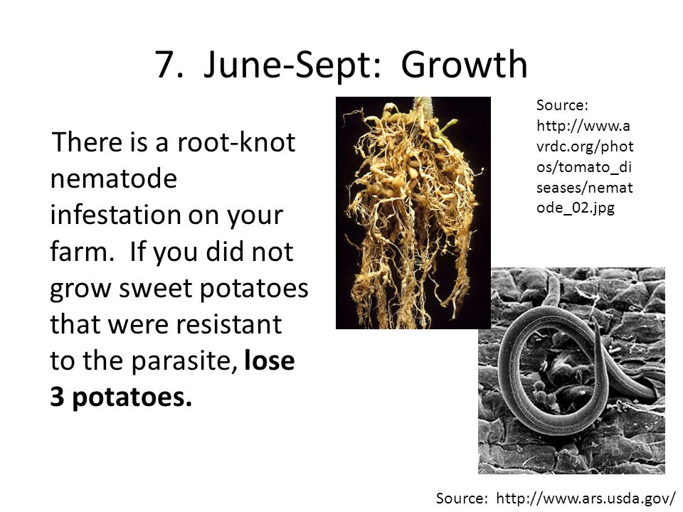 8.June-Sept: Growth There was no sweet potato virus disease this year in North Carolina.